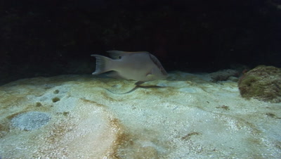 Hogfish (Lachnolaimus maximus) are the largest species of Wrasse. Resting in caves and foraging in the sand
