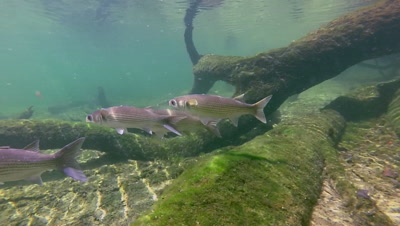 Florida Springs host a variety of freshwater fish