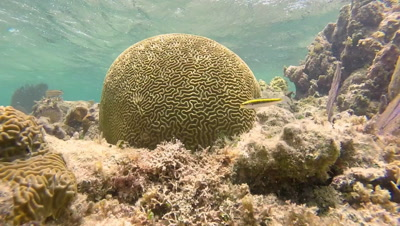 Shallow water coral reef in the Caribbean Sea with Brain Coral, Lettuce Coral and Sea Fans