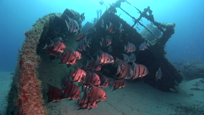 Atlantic Spade Fish (Chaetodipterus faber) Schooling on and around a shipwreck