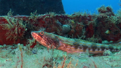 Atlantic lizardfish (Synodus saurus) resting on the deck of a shipwreck