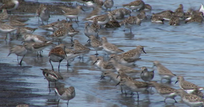 Sanderling (Calidris alba) and a few Dunlins in breeding plumage and other shore birds forage at the waters edge on a Delaware beach