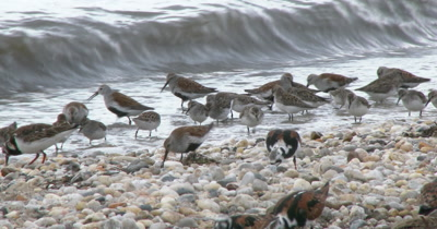 Dunlins in breeding plumage, Ruddy Turnstones and other shore birds forage among the pebbles and horseshoe crabs on a Delaware beach