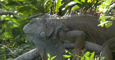 Green Iguanas (Iguana iguana) at an Iguana farm