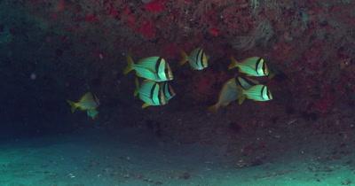 Atlantic Porkfish (Anisotremus virginicus), small school under a ledge