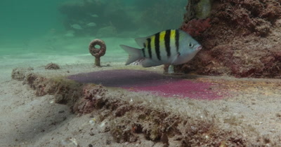 Sergeant Major fish defending and cleaning it's nest with eggs