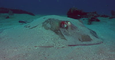 Southern Stingray (Dasyatis americana) hiding in the Sand
