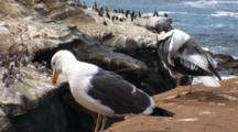 Western Gull (Larus Occidentalis) Preens On Edge Of A Cliff, Pelicans In Background