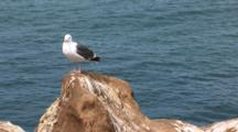 Western Gull (Larus Occidentalis) On Edge Of A Cliff, Ocean In Background, Tilt Down To Dead Pelican