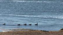 Duck And Ducklings Swim In Wetland Area