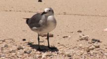 Laughing Gull (Larus Atricilla) Juvenile Stands On Tropical Beach With Waves Lapping The Shore Facing Camera