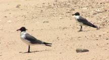 Laughing Gull (Larus Atricilla) Pair On Beach