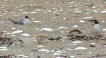 Least Tern (Sternula Antillarum) Adult And Chick Together On Beach, Other Nesting Animals In The Background, Shot Pans To The Left