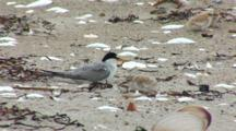 Least Tern (Sternula Antillarum) Adult And Chick Together On Beach, Chick Tries To Hide Under Adult
