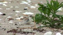Least Tern (Sternula Antillarum) Chick Hiding Near Plant On Beach
