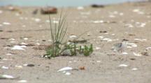Least Tern (Sternula Antillarum) Chicks Hiding Near Plant On Beach