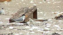 Least Tern (Sternula Antillarum) Chicks Eats A Fish, A Sand Lance As An Adult Looks On.