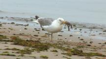 Shore Crab Is Being Attacked And Eaten By A Herring Gull, Least Tern (Sternula Antillarum) In The Water In Background