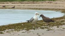 Juvenile And Adult Herring Gull Scavenge At The Shoreline
