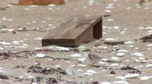 Least Tern (Sternula Antillarum) Chick Hiding Near Enclosures On Beach