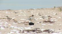 Least Tern (Sternula Antillarum) Adult Stands With Fish In The Middle Of Several Chicks
