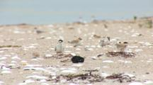 Least Tern (Sternula Antillarum) Adult Shakes Fish In The Middle Of Several Chicks Then Flies Out Of Frame