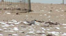 Least Tern (Sternula Antillarum) Adults & Chicks In Front Of Plover Exclosure, Fledgling Walks Through Frame