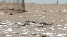 Least Tern (Sternula Antillarum) Adults & Chicks In Front Of Plover Exclosure, Chick Hides Beneath Adult