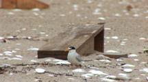 Least Tern (Sternula Antillarum) Adult Near Chick Box Then Exits Frame