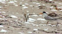 Least Tern (Sternula Antillarum) Adult And Chick With Fish Eats Fish & Exits Frame