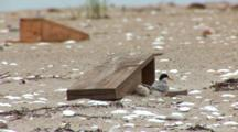 Least Tern (Sternula Antillarum) Chick And Adult Stand Near Chick Boxes