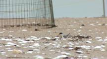 Least Tern (Sternula Antillarum) Chick And Adult Hunker Down At Nest On Beach, Plover Exclosure In The Background