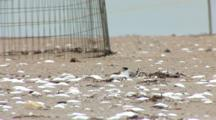 Least Tern (Sternula Antillarum) Chick And Adult Hunker Down At Nest On Beach, Plover Exclosure In The Background, Fledgling Enters And Then Exits Frame