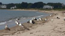 A Group Of Great Black Backed Gulls (Larus Marinus) Wait For An Oppertunity To Eat A Tern Chick