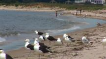 A Group Of Great Black Backed Gulls And Some Herring Gulls Wait For An Oppertunity To Eat A Tern Chick