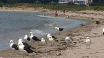 Great Black Backed Gulls And Some Herring Gulls Wait For An Opportunity To Eat A Tern Chick