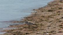 Piping Plovers (Charadrius Melodus) Forages Near The Water, Threatened Species