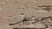 Least Tern (Sternula Antillarum) Adult & Fledged Chick On Beach, Adult Holds A Fish