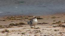 Least Tern (Sternula Antillarum) Fledged Chick On Beach, Near The Water