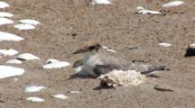 Least Tern (Sternula Antillarum) Fledged Chick Very Still On Beach, Hiding, Grasses In Foreground