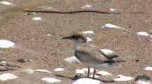 Least Tern (Sternula Antillarum) Fledged Chick Streching Wings On Beach, Grasses In Foreground