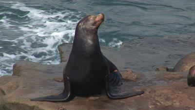 California Sea Lion On Rocks
