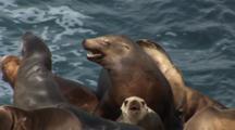 California Sea Lion (Zalophus Californianus) Young Male On Rocks In Colony