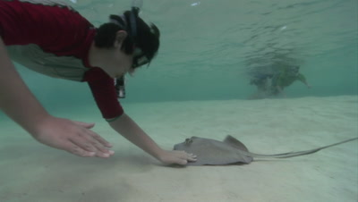 Southern Stingray With Snorkeler