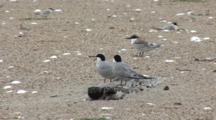 Least Tern (Sternula Antillarum) Fledgling And Common Tern Pair (Sterna Hirundo) Stand On Beach