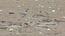 Least Tern (Sternula Antillarum) Chick Grabs A Fish From Adult