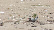 Common Tern (Sterna Hirundo) Near Plant On Beach