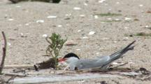 Common Tern (Sterna Hirundo) Near Plant On Beach, Stretches Wing