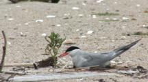 Common Tern (Sterna Hirundo) Near Plant On Beach, Moves Off Of Nest And Walks Away