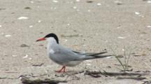 Common Tern (Sterna Hirundo) Moves Off Of Nest And Walks Away, Bites At Sticks